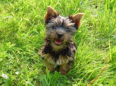 humane, humanity, yorkshire terrier puppy, mayan, daykeeper, Kib, solitude, balance, interdependent, healingthroughceremony.com, michele fire-riverheart